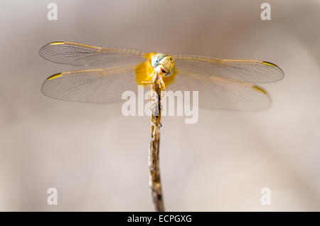 A smiling Scarlet darter dragonfly (Crocothemis erythraea) - Stock Photo