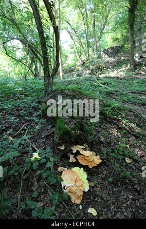 Mushroom in the forest on the Rheinsteig track - between Kamp-Bornhofen and Braubach - Hesse - Germany - Stock Photo