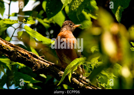 An American robin (Turdus migratorius), perches on a tree limb in the spring. - Stock Photo