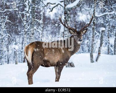 Reindeer (Rangifur tarandus) In The Snow - Stock Photo