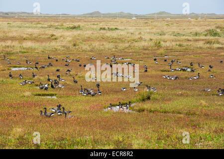 Brent geese feeding on salt marsh at Blakeney, Norfolk, UK. - Stock Photo