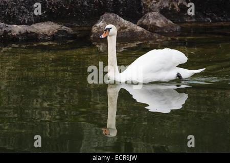 Swan swimming in mountain lake - Stock Photo