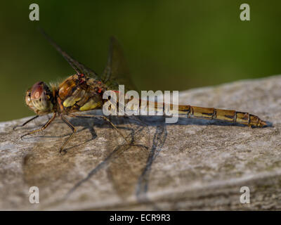 Juvenile Common Darter Dragonfly (Sympetrum striolatum) - Stock Photo