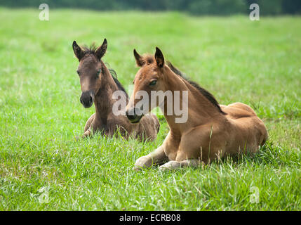 Quarter Horse foals lying in grass - Stock Photo