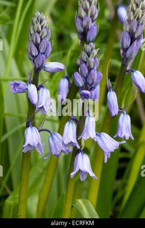 Striped blue bells of the Spanish bluebell, Hyacinthoides hispanica - Stock Photo
