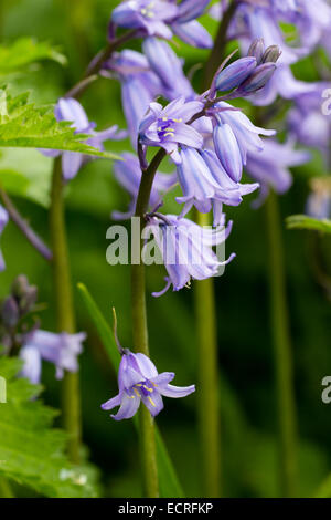 Striped blue bells of the hybrid bluebell, Hyacinthoides x massartiana - Stock Photo