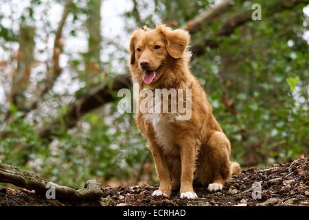 Nova Scotia Duck Tolling Retriever Sitting in a wood - Stock Photo