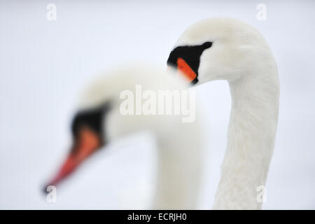 Close up of a pair of swans - Stock Photo