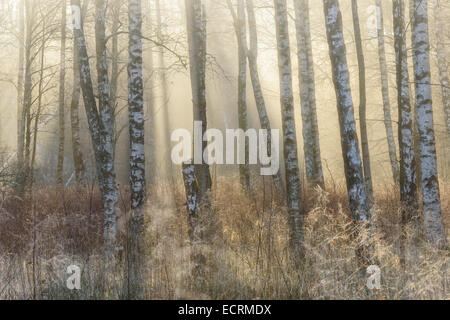 Birch trees and tall grass in a misty forest Stock Photo
