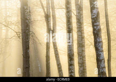 Tree trunks in mist and soft morning light - Stock Photo