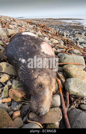 A Grey Seal, Halichoerus grypus washed up dead on a beach in Northumberland, UK. - Stock Photo