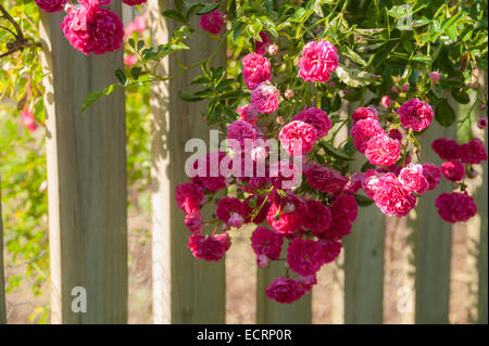 Roses on white picket fence - Stock Photo