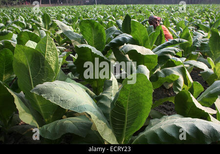 December 2010.Tobacco field in manikganj out site of Dhaka - Stock Photo