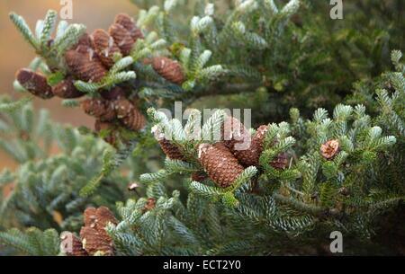 Korean Fir (Abies koreana) close up on cones - Stock Photo