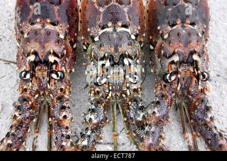 Caribbean Spiny Lobster Panulirus argus - Stock Photo