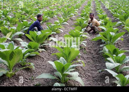 Bangladesh -  January 2009- tobacco farmer work in field of tobacco plants Manikganj outside of Dhaka. - Stock Photo