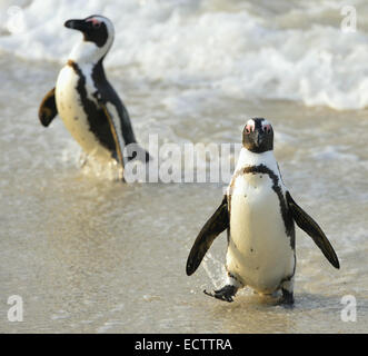 African penguins (spheniscus demersus) leaves water on the coast at the Beach. - Stock Photo