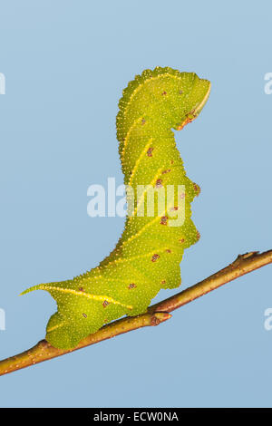 Blinded Sphinx Moth (Paonias excaecata) 5th instar caterpillar on Wild Cherry outlined against the blue sky. - Stock Photo