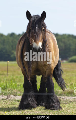 Horse standing in sunshine on green grass inside electric fence, looking straight out - Stock Photo