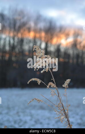 golden rod in winter - Stock Photo