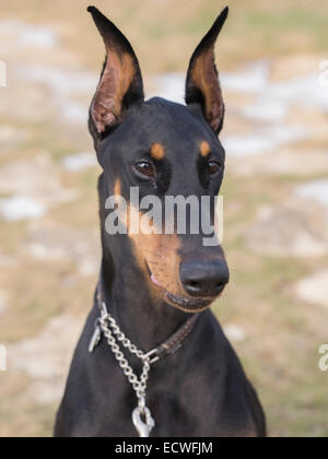 Doberman Pinscher (  Dobermann ) large domestic dog / pet a loyal companion dog. Black / tan ( rust ) color - Stock Photo