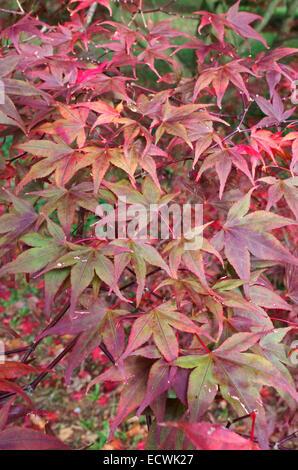 Acer palmatum 'Bloodgood' Japanese Maple - Stock Photo