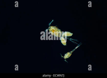 Water Flea Cyclops  Two adults,male and female with eggs Devon UK - Stock Photo