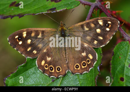 Speckled Wood Butterfly, Pararge Aegeria, UK - Stock Photo