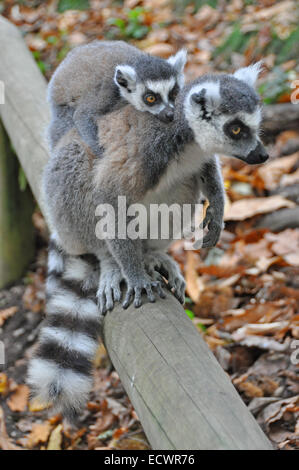 Ring tailed lemurs; lemur catta, adult with baby clinging on back - Stock Photo