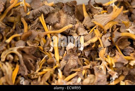 horn of plenty mushroom. - Stock Photo