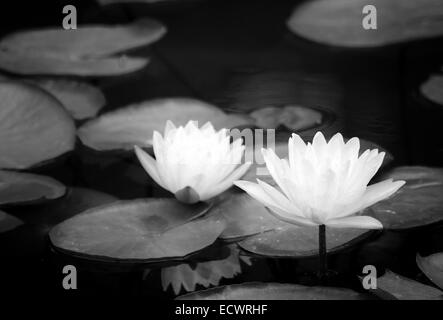 Two Water Lilies on Pond Converted to Black and White - Stock Photo