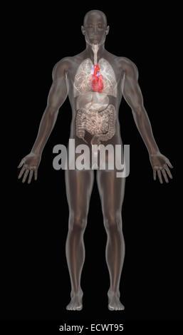 Human anatomy illustration. - Stock Photo