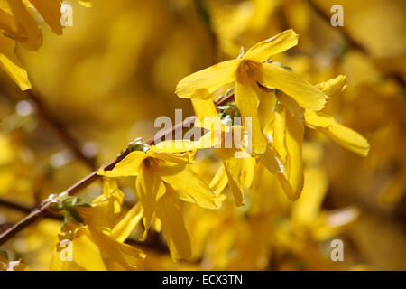 Blooming forsythia (Forsythia intermedia) in the Taunus mountains near Engenhahn, Hesse, Germany - Stock Photo
