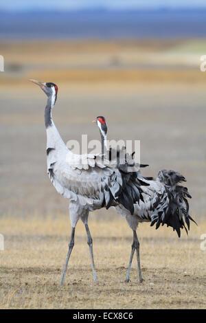 Eurasian / Common Crane (Grus grus) pair. Gallocanta lagoon. Zaragoza province. Aragon. Spain. - Stock Photo