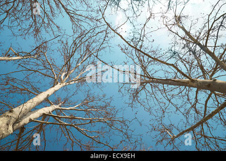 Spring treetops with blue sky and clouds - Stock Photo