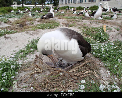 Wisdom, the oldest known banded wild bird tends to her newly hatched chick February 3, 2013 on Midway Atoll National - Stock Photo