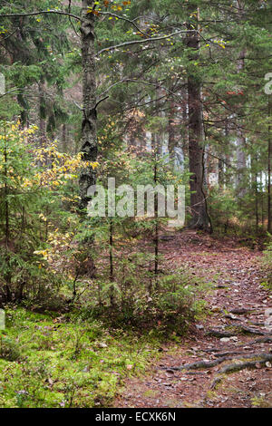 Narrow lane in dark autumnal forest, Karelia, Russia - Stock Photo