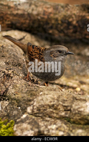 Vertical portrait of dunnock, Prunella modularis (Prunelidae), adult perched on stone. - Stock Photo