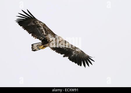 White-tailed Eagle, Haliaeetus albicilla in flight near Kushiro in the Akan Perfecture, Hokkaido, Japan. - Stock Photo