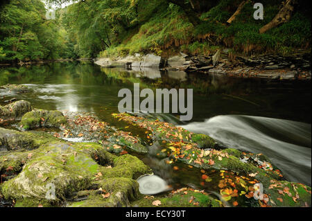 Autumn fall leaves on river teifi at Cenarth waterfalls wales - Stock Photo