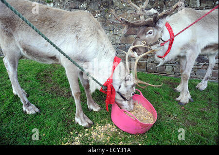 Reindeer at Christmas show st dogmaels pembrokeshire wales - Stock Photo