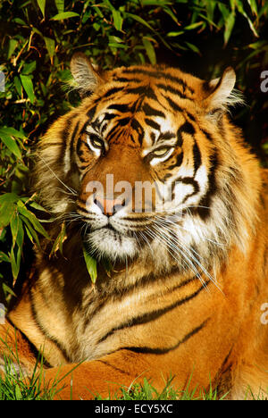 Siberian Tiger relaxing in a natural environment - Stock Photo