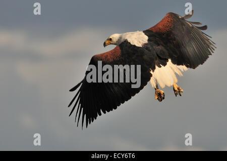 African Fish Eagle, Haliaeetus vocifer, Accipitridae, Baringo Lake National Park, Kenya, Africa - Stock Photo