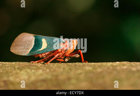 Lantern Bug (Scamandra tethis), Tangkoko Batuangus Nature Reserve, Sulawesi, Indonesia - Stock Photo