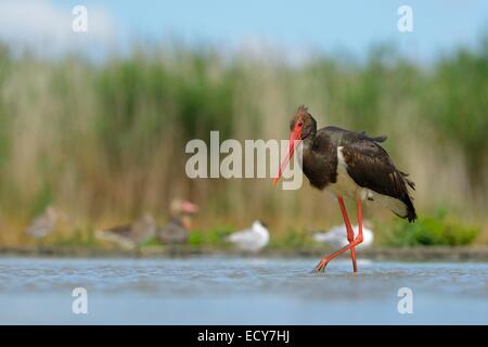 Black Stork (Ciconia nigra), wading in shallow water in search of food, Kiskunság National Park, Hungary - Stock Photo