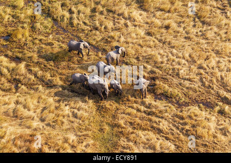 African Elephants (Loxodonta africana), breeding herd, roaming in a freshwater marsh, aerial view, Okavango Delta, - Stock Photo