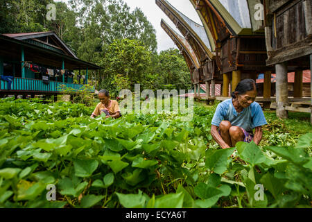 Toraja women working in the fields, Sulawesi, Indonesia - Stock Photo