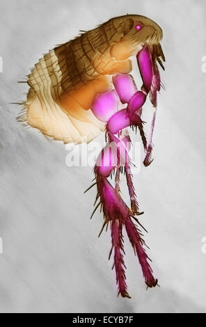 Scanning electron micrograph of a flea. - Stock Photo