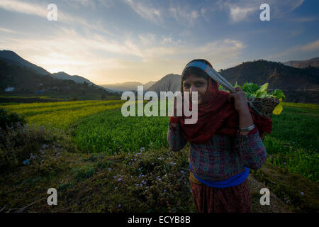 Villagers picking yellow flowers on terraces along Siddhartha highway, Nepal - Stock Photo