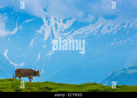 Grazing cow on a pasture with the background of swiss mountain cover with snow Interlaken - Lauterbrunnen - Stock Photo